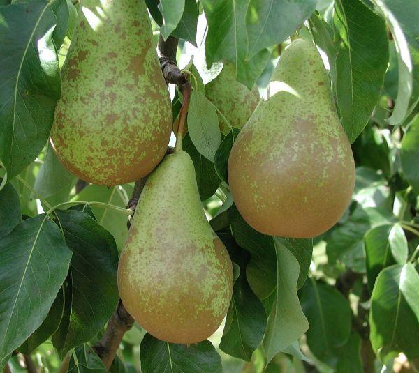 Semillas frutas comestibles semillas de huerto for Tipos de viveros frutales