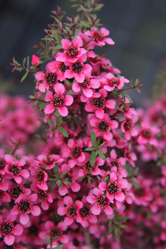 MANUKA leptosmermum scoparium  50 semilas seeds graines