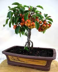 semillas frutas comestibles manzano siberia ideal bonsai. Black Bedroom Furniture Sets. Home Design Ideas