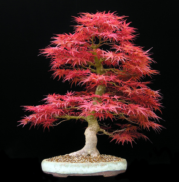 ARCE JAPONES ATRO PURPUREA  acer palmatum ideal  BONSAI 15 semillas