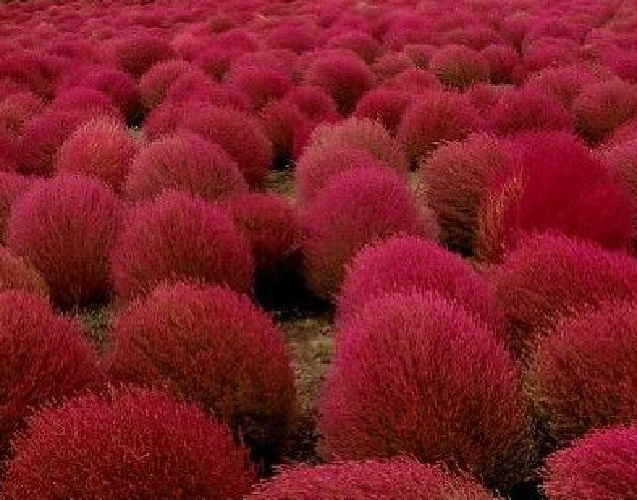 KOCHIA scoparia falso cipres  300 semillas seeds