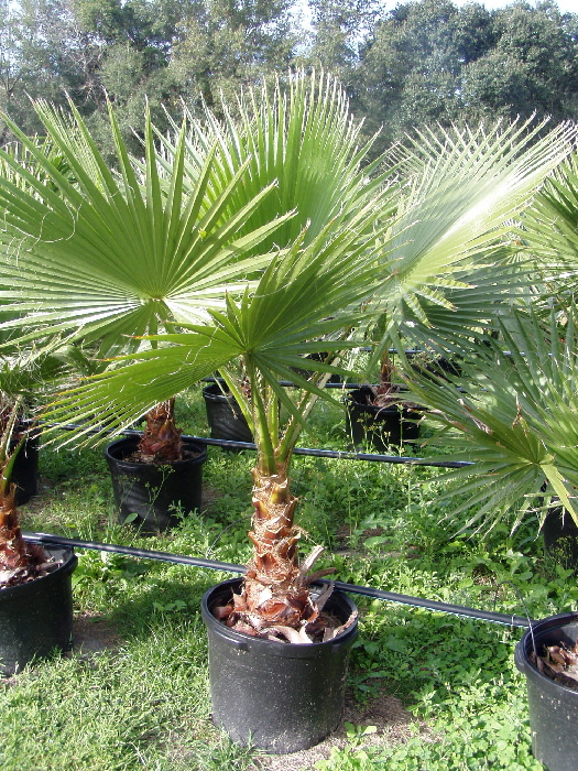 PALMERA de ABANICOS  washingtonia  50 Semillas seeds