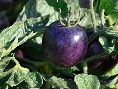 tomate azul semillas