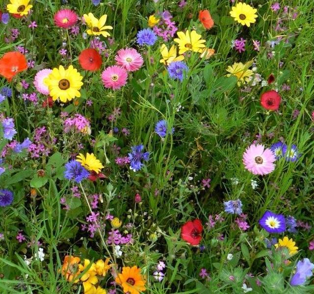 Semillas jardin y flores mezcla prado japones 50 for Plantas jardin japones