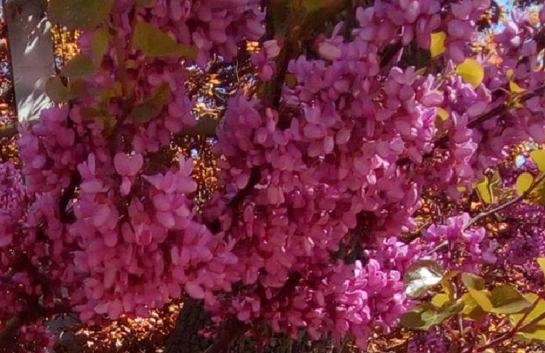 ARBOL DEL AMOR  cercis  ideal bonsai  1000 semillas seeds