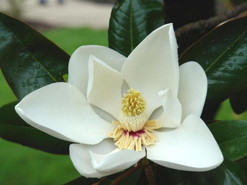 Semillas de ex ticas magnolia magnolio grandiflora 5 - Semilla de magnolia ...