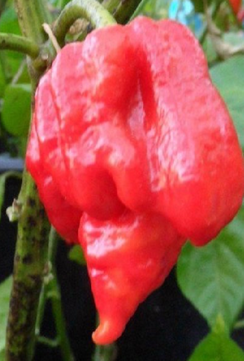 TRINIDAD SCORPION escorpion butch NUEVO RECORD PICANTE semillas seeds