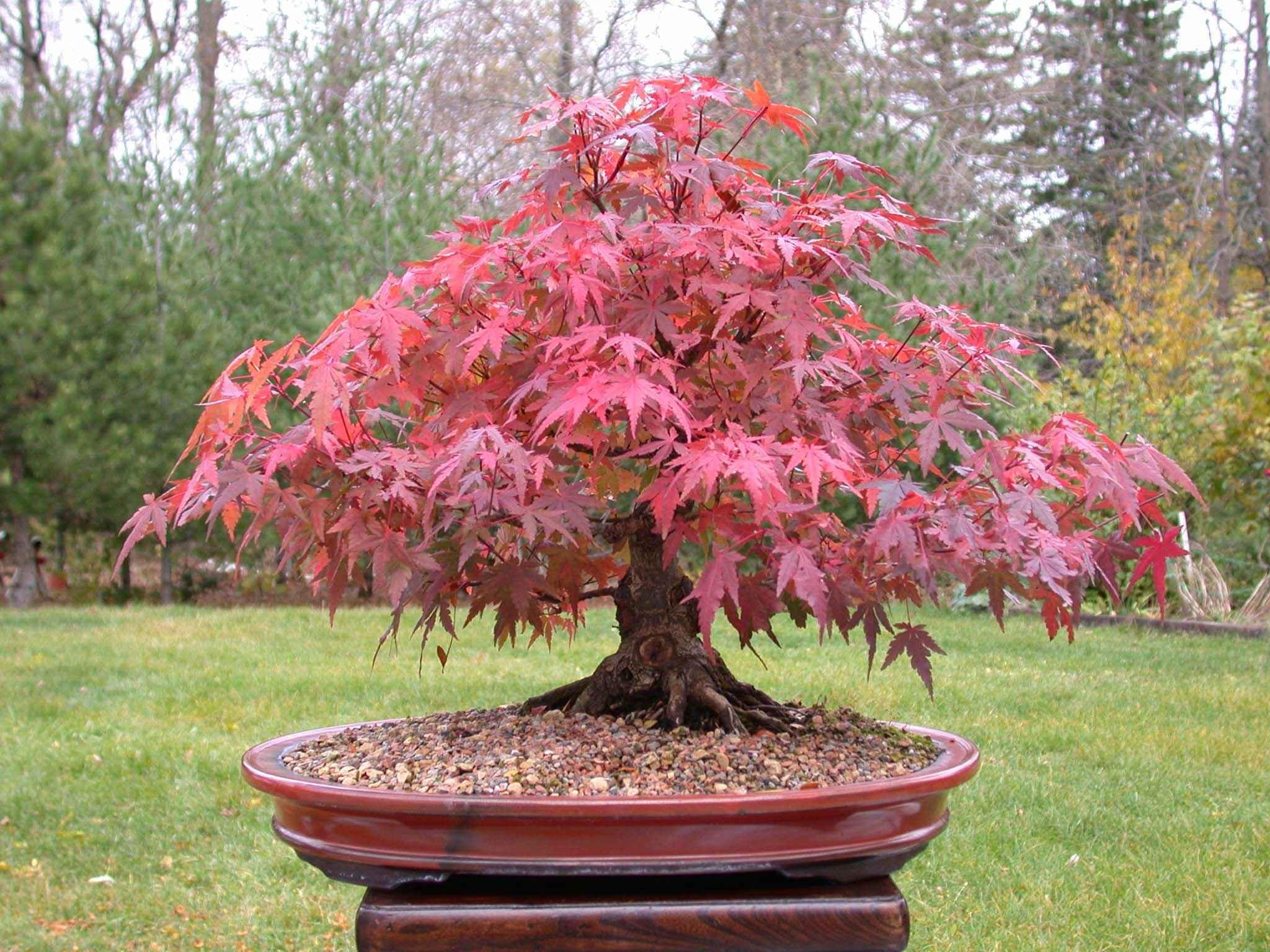 Semillas de huerto carnivoras flores arboles - Arce rubrum bonsai ...