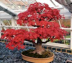 ARCE ROJO acer rubrum ideal  BONSAI 25 semillas