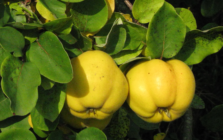 MEMBRILLO quince  Cydonia Oblonga 10 semillas seeds
