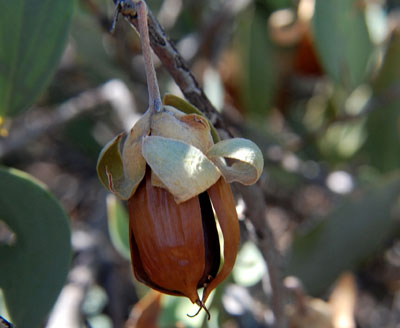 JOJOBA Ideal Aceite  simmondsia chinensis  4 semillas seeds
