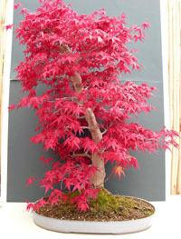 ARCE JAPONES  acer palmatum ideal  BONSAI 40 semillas