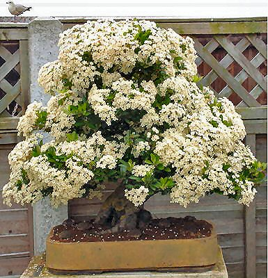 PYRACANTHA COCCINEA  ideal  BONSAI 40 semillas