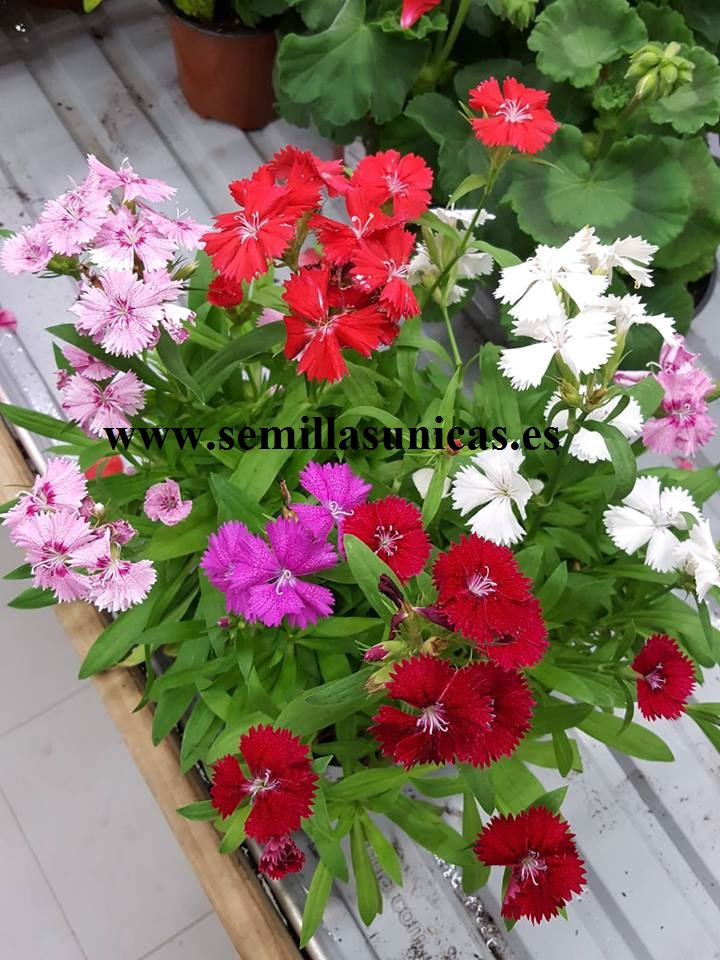 CLAVEL CHINO    dianthus 200 semillas seeds