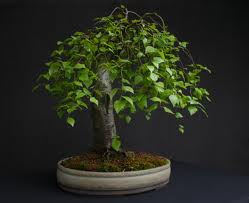 ABEDUL EUROPEO betula pendula ideal bonsai 200 semillas seeds
