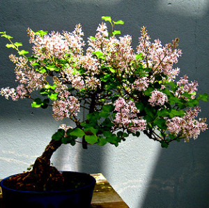 LILO TARDIO syringa villosa ideal bonsai 100 semillas seeds
