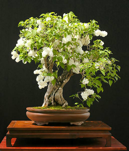LILO  syringa vulgaris ideal bonsai 40 semillas seeds
