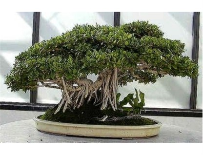 FICUS BENGHALENSIS ideal bonsai  30 semillas seees