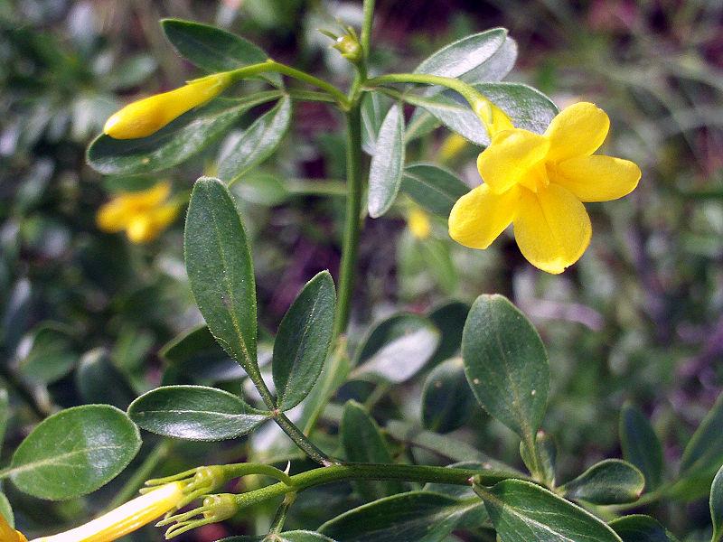 Semillas jardin y flores jazmin amarillo jasminum for Jazmin planta precio