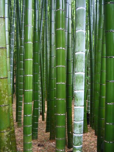 Semillas de ex ticas bambu moso gigante phyllostachys for Moso bamboo prezzi