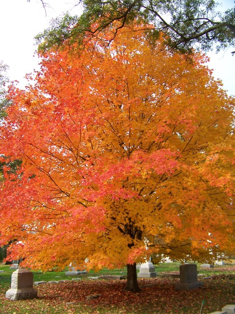 ARCE  acer saccharum 50 semillas seeds