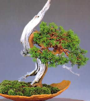 SABINA CHINA  juniperus chinensis ideal  BONSAI 100 semillas