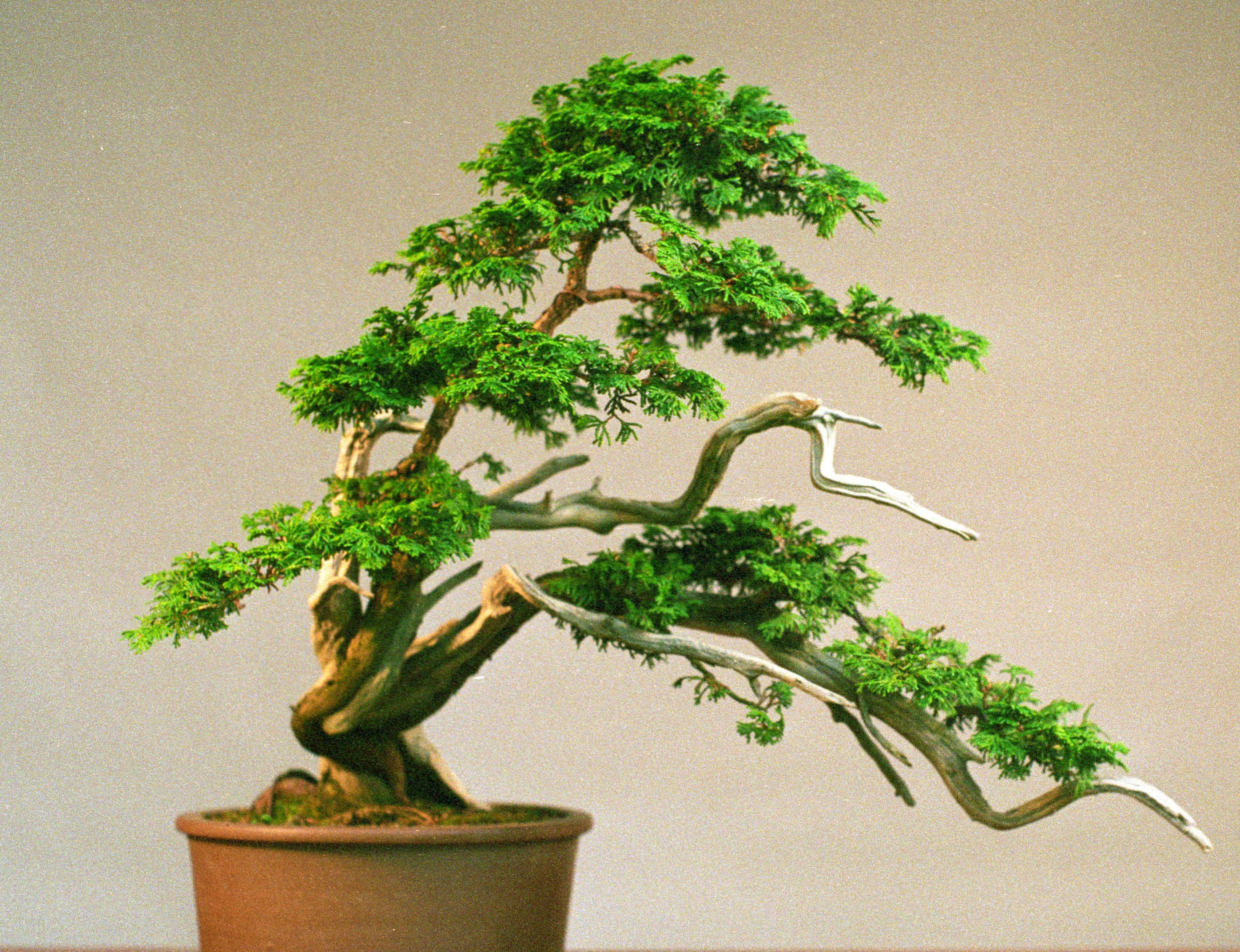 HINOKI FALSO CEDRO  ideal  BONSAI 500 semillas