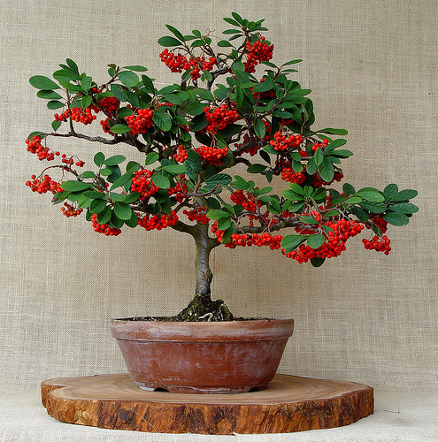 COTONEASTER HORIZONTALIS ideal  BONSAI 100 semillas