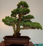 CIPRES de LAWSON  Ideal setos-bonsai 1000 Semillas Seeds