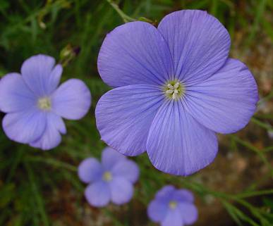 LINO AZUL - Linum perenne 100 gr  Semillas Seeds